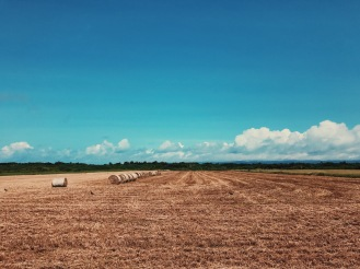 一堆堆黑島牛兒要吃的乾草